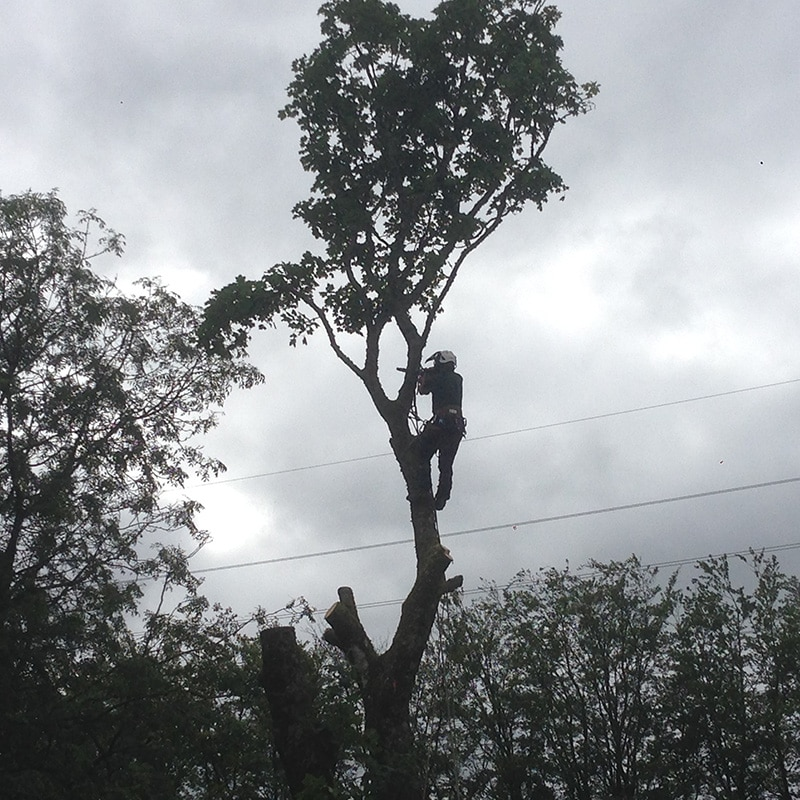 Tree Climber Tree Surgeon Stirling