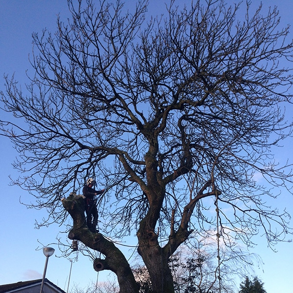 Tree Climbing - Tree Surgeons in Cumbernauld
